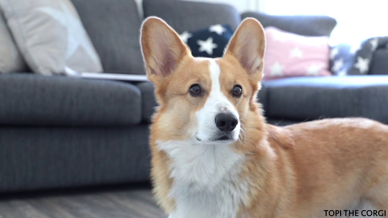 Topi the Corgi uses a Neato robot vacuum - So easy a dog can do it